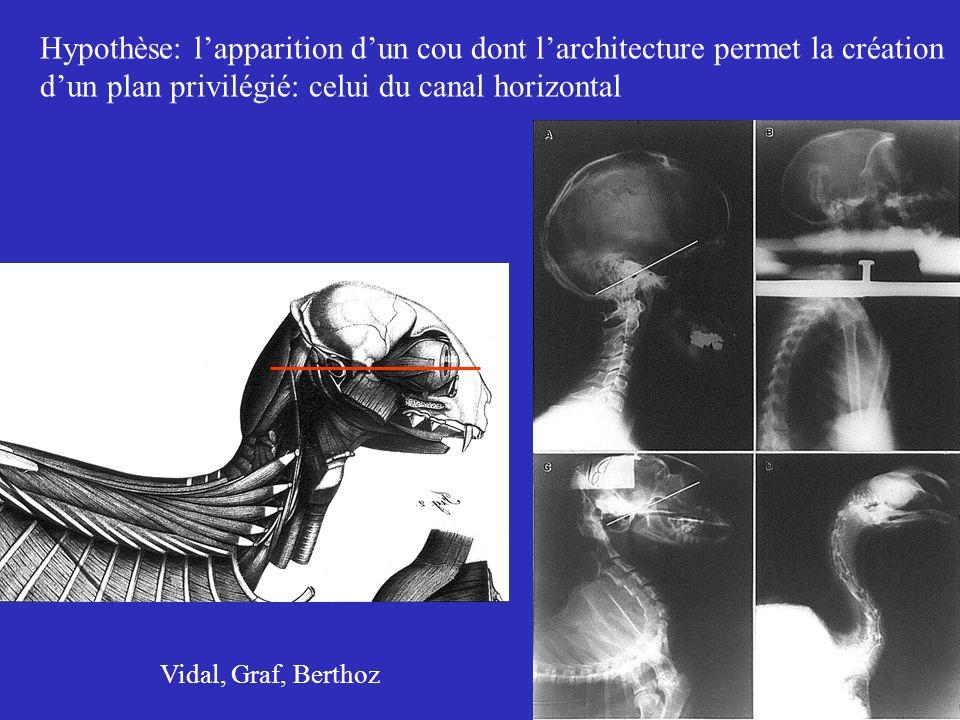 Hypothèse: l'apparition d'un cou dont l'architecture permet la création d'un plan privilégié: celui du canal horizontal