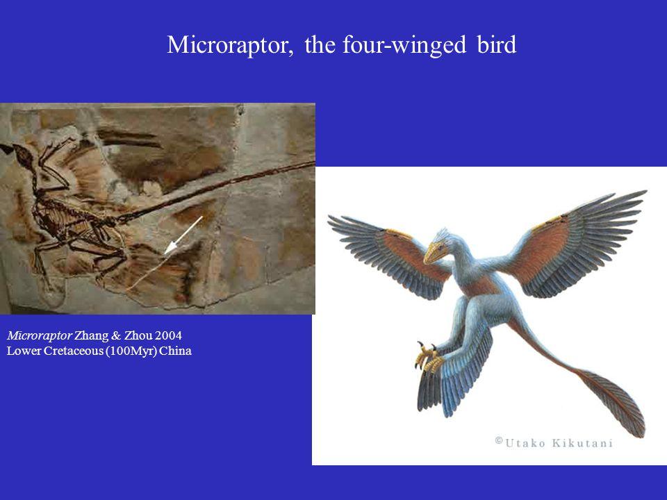 Microraptor, the four-winged bird