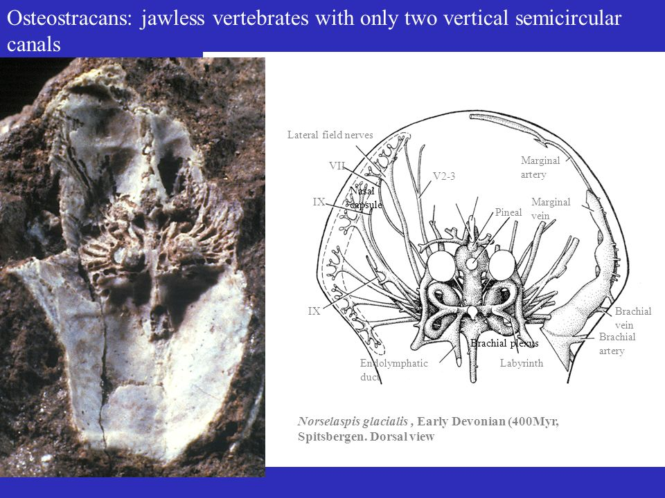 Osteostracans: jawless vertebrates with only two vertical semicircular canals