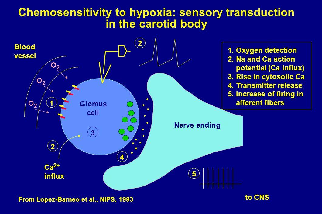 Chemosensitivity to hypoxia: sensory transduction in the carotid body