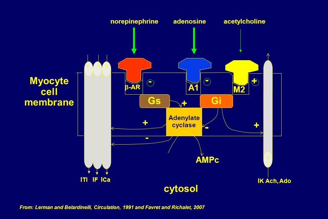 - Myocyte + cell membrane cytosol A1 M2 AMPc b-AR Gs Gi Adenylate