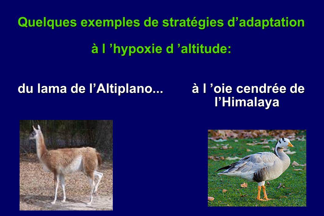 Quelques exemples de stratégies d'adaptation à l 'hypoxie d 'altitude: du lama de l'Altiplano... à l 'oie cendrée de l'Himalaya