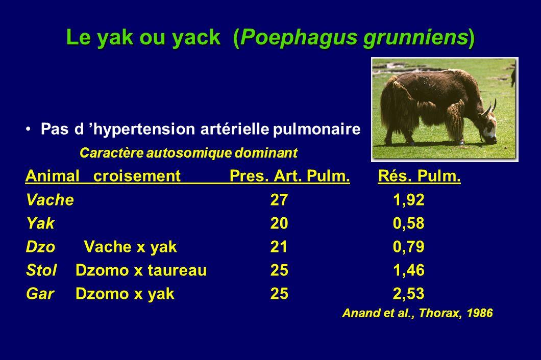 Le yak ou yack (Poephagus grunniens)