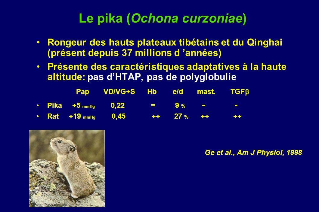 Le pika (Ochona curzoniae)