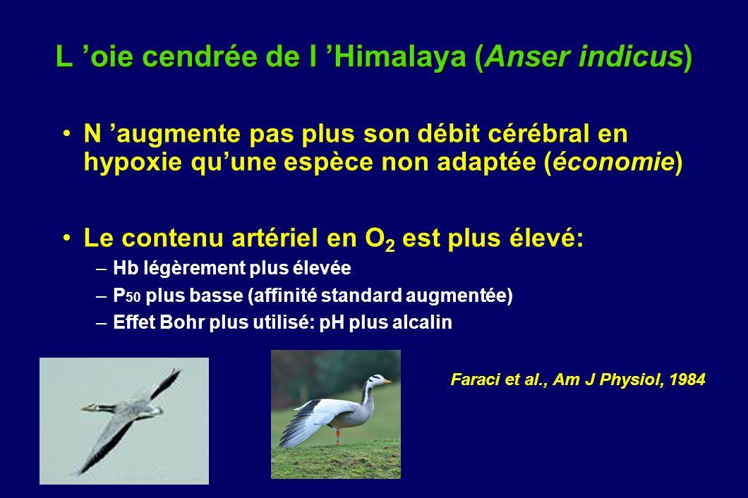 L 'oie cendrée de l 'Himalaya (Anser indicus)