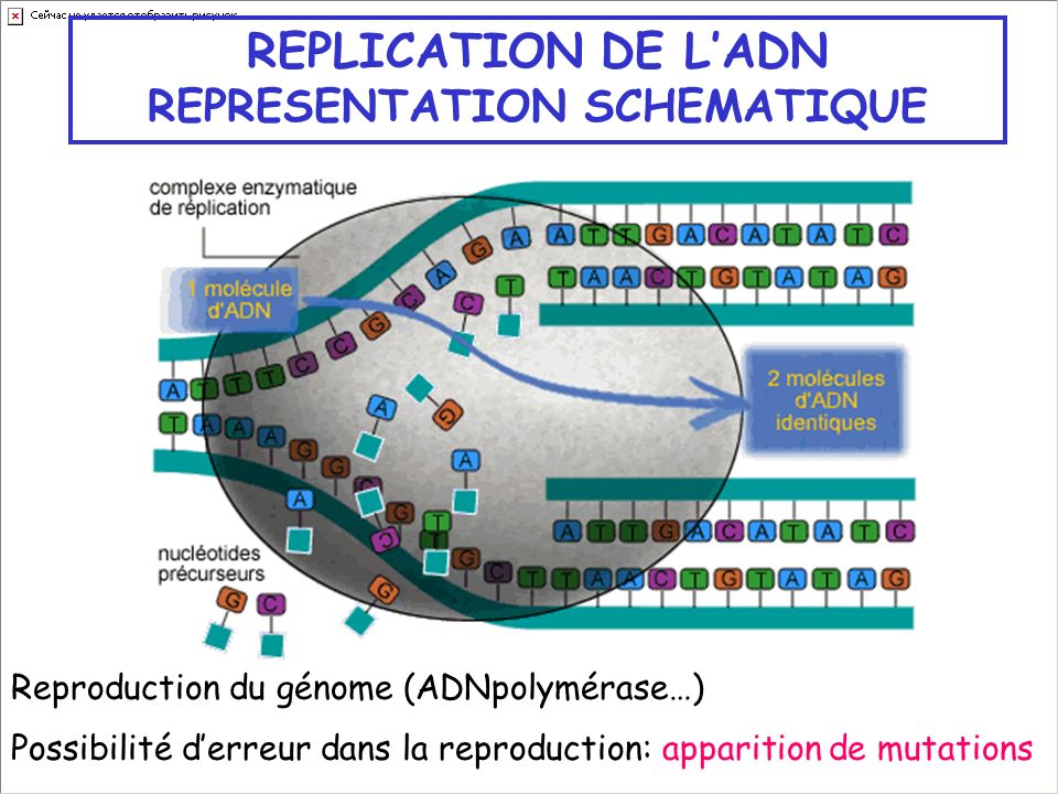 REPLICATION DE L'ADN REPRESENTATION SCHEMATIQUE