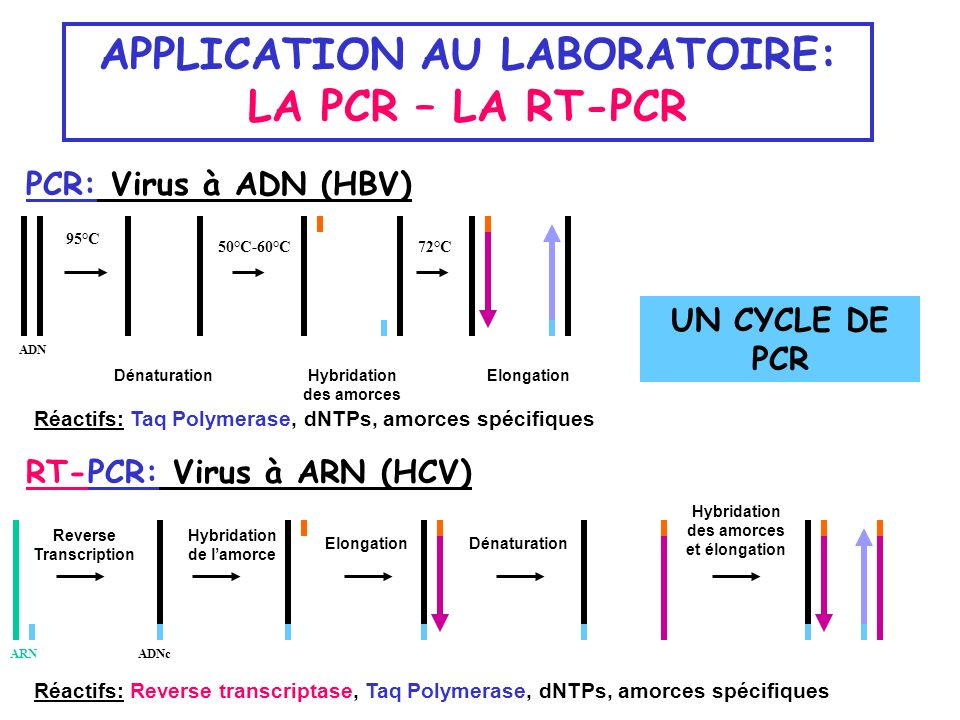 APPLICATION AU LABORATOIRE: LA PCR – LA RT-PCR