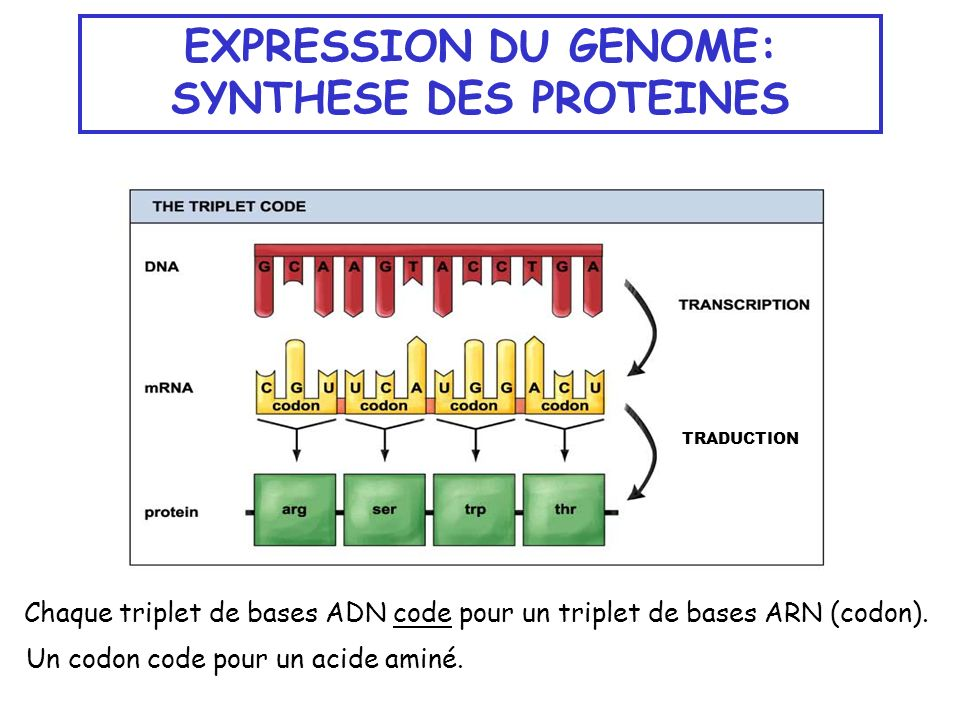 EXPRESSION DU GENOME: SYNTHESE DES PROTEINES