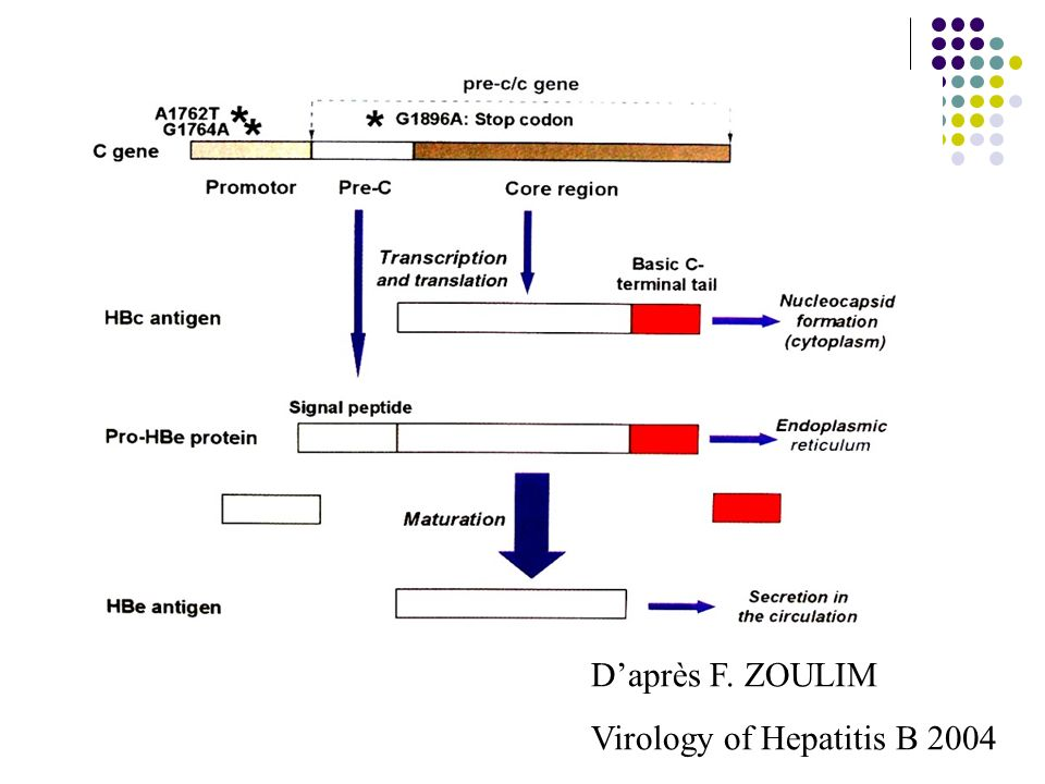 D'après F. ZOULIM Virology of Hepatitis B 2004