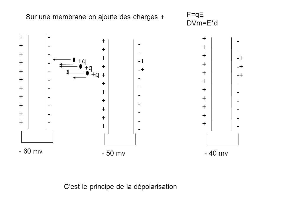 F=qE DVm=E*d. Sur une membrane on ajoute des charges + + - + + - -+ - -+ +q. +q. +q. - 60 mv.