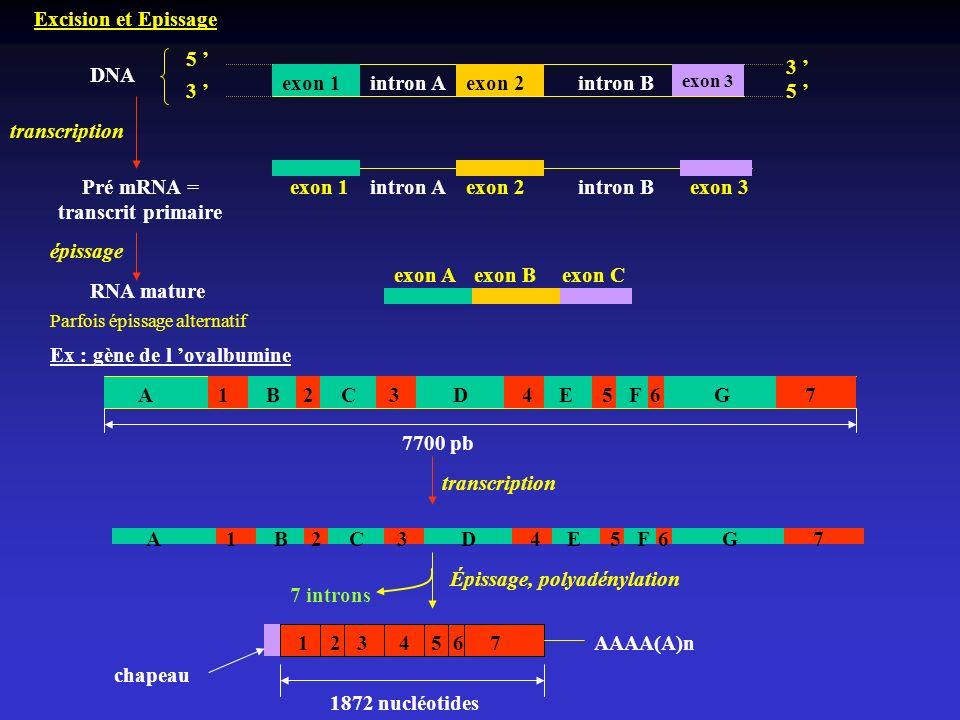 Pré mRNA = transcrit primaire