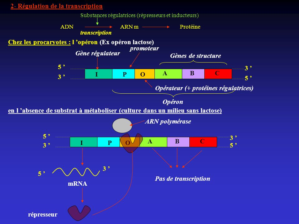2- Régulation de la transcription