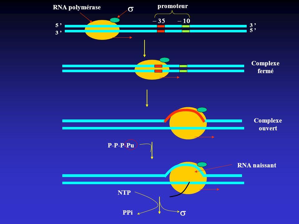 s s RNA polymérase promoteur - 35 - 10 Complexe fermé Complexe ouvert