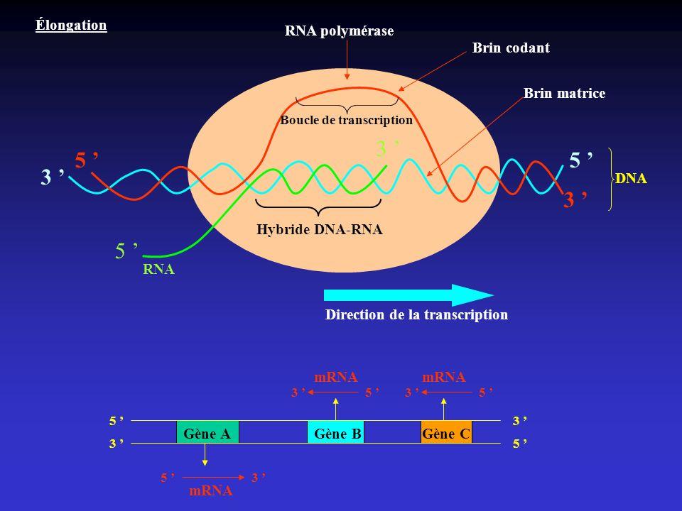 3 ' 5 ' 5 ' 3 ' 3 ' 5 ' Élongation RNA polymérase Brin codant