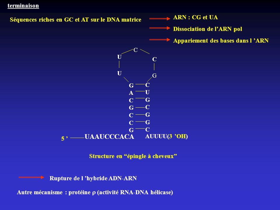 UAAUCCCACA terminaison ARN : CG et UA