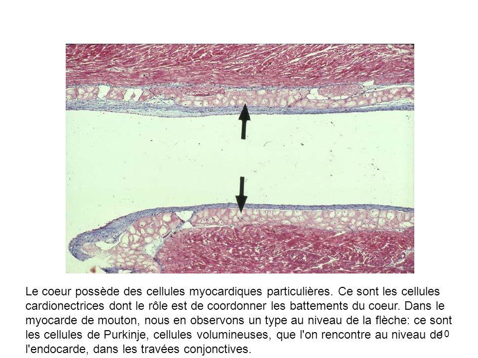 Le coeur possède des cellules myocardiques particulières
