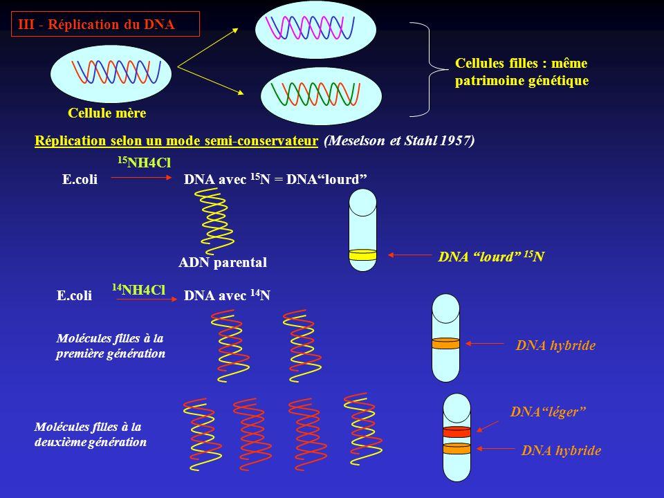III - Réplication du DNA