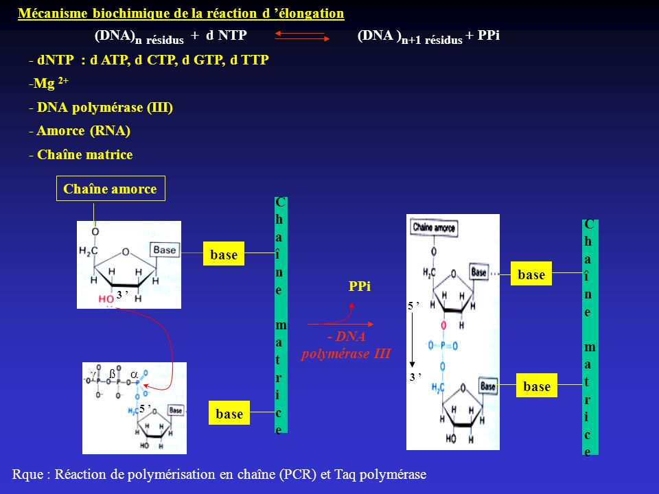 Mécanisme biochimique de la réaction d 'élongation