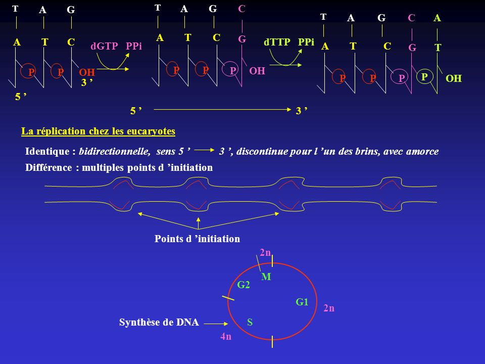 La réplication chez les eucaryotes