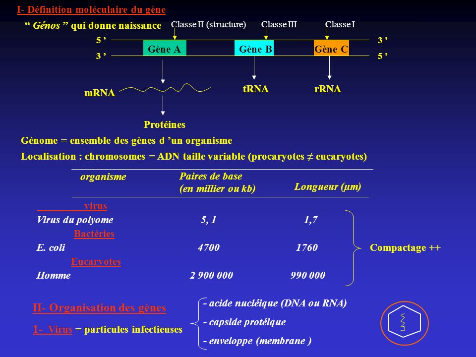 II- Organisation des gènes 1- Virus = particules infectieuses