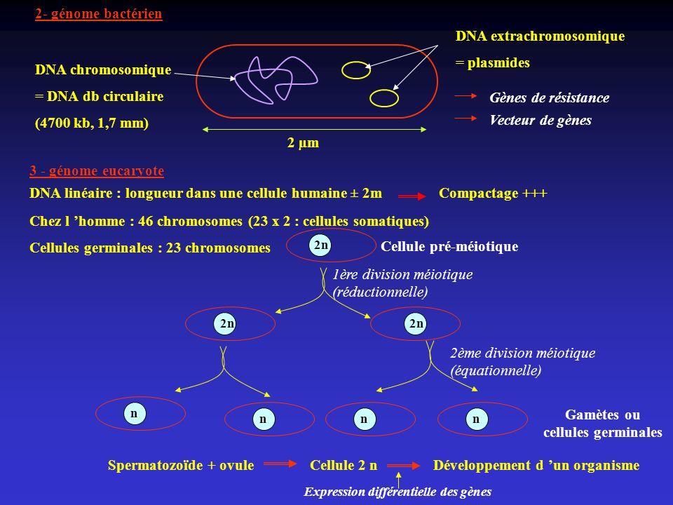 Gamètes ou cellules germinales