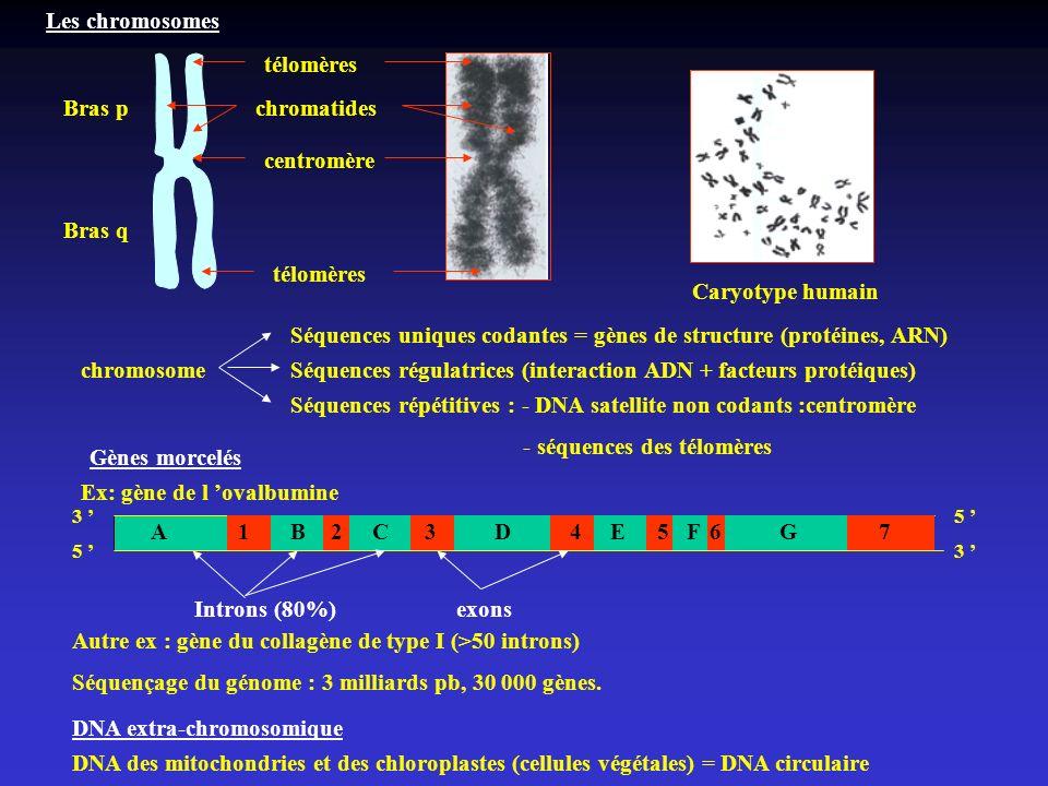 Séquences uniques codantes = gènes de structure (protéines, ARN)