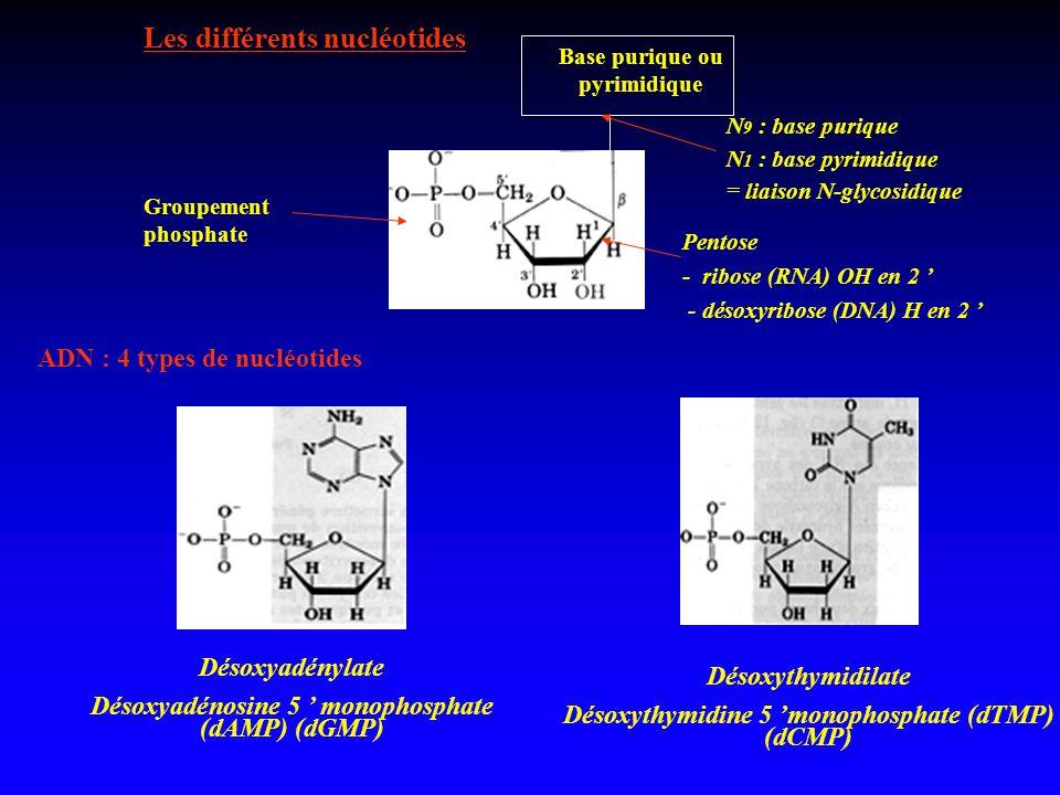 Les différents nucléotides
