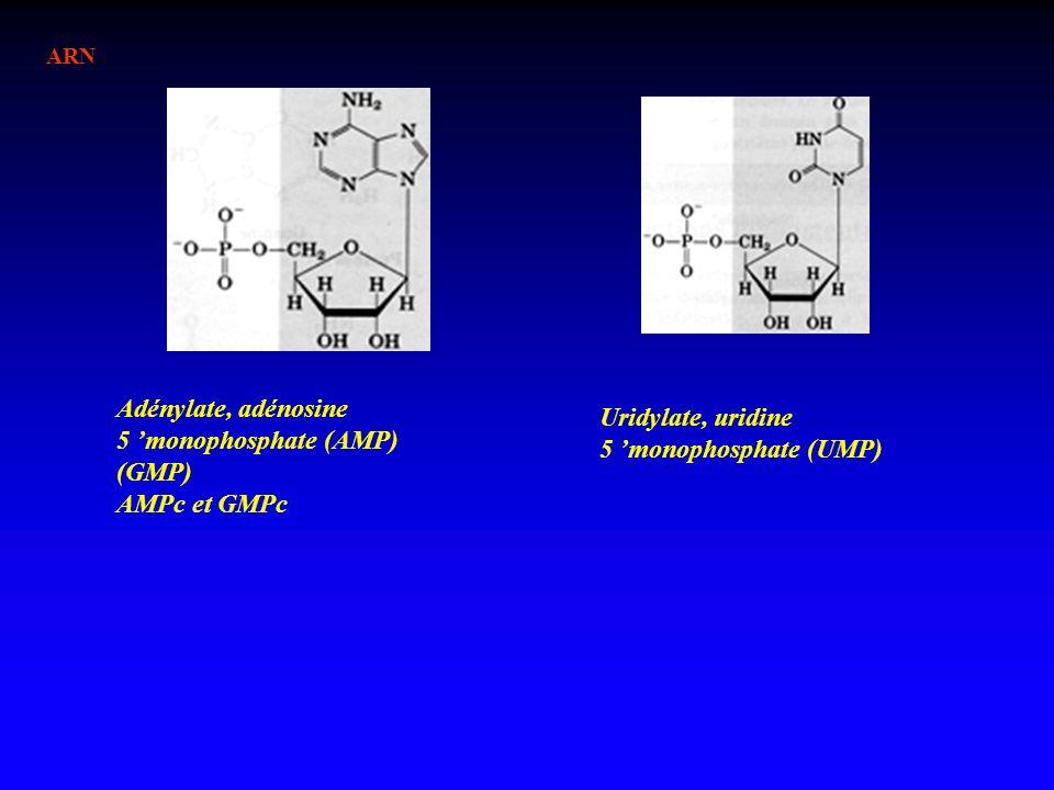 Adénylate, adénosine 5 'monophosphate (AMP) (GMP) AMPc et GMPc