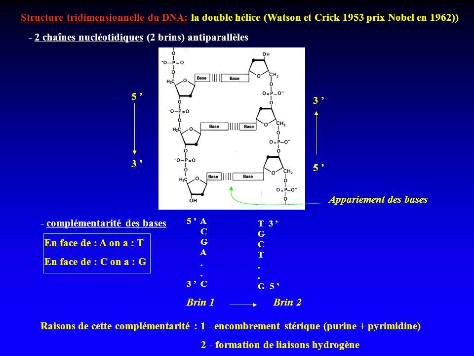 - 2 chaînes nucléotidiques (2 brins) antiparallèles