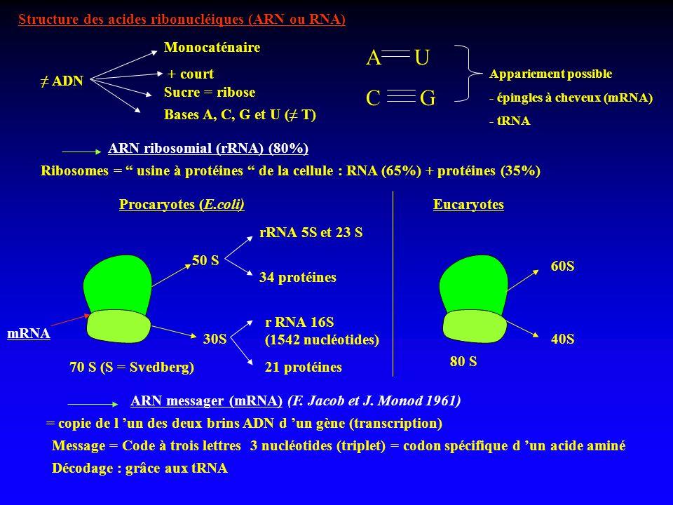 A U C G Structure des acides ribonucléiques (ARN ou RNA) Monocaténaire