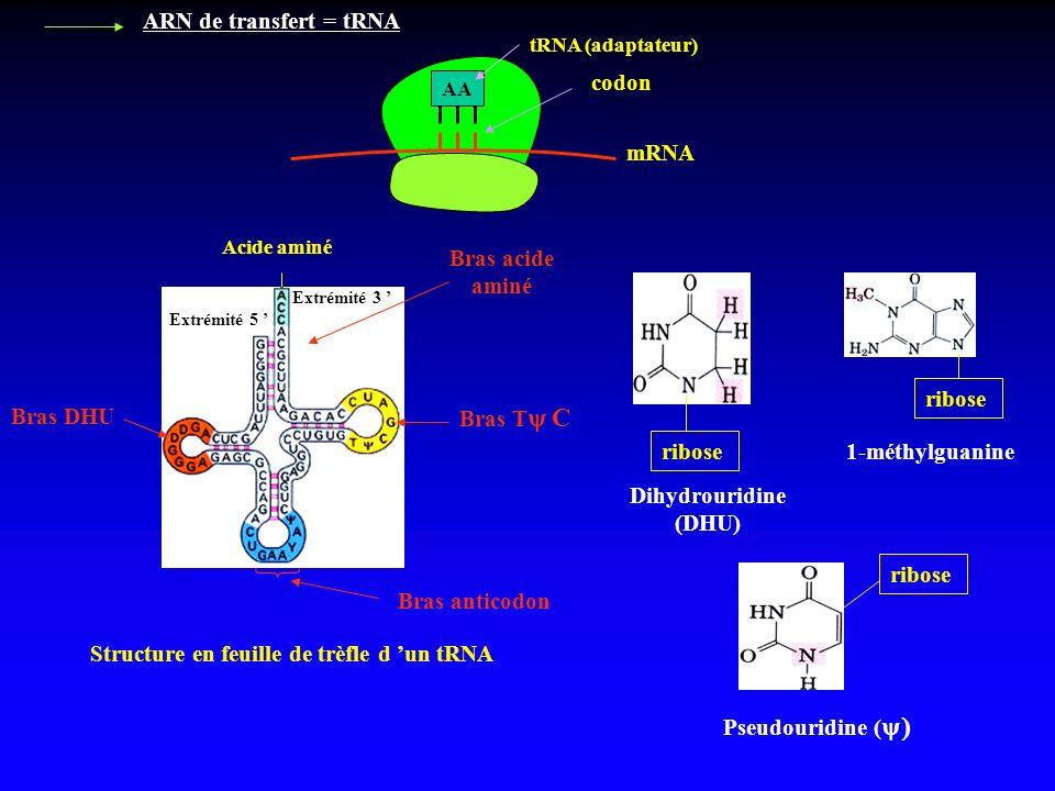 Bras acide aminé Dihydrouridine (DHU)