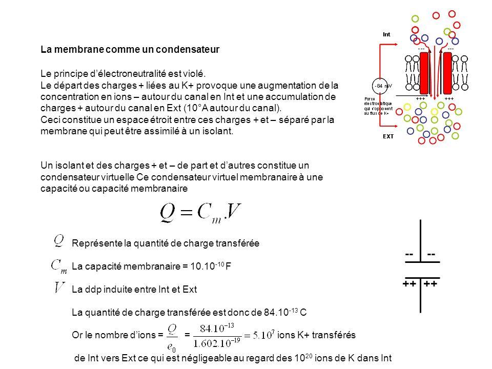 -- -- ++ ++ La membrane comme un condensateur