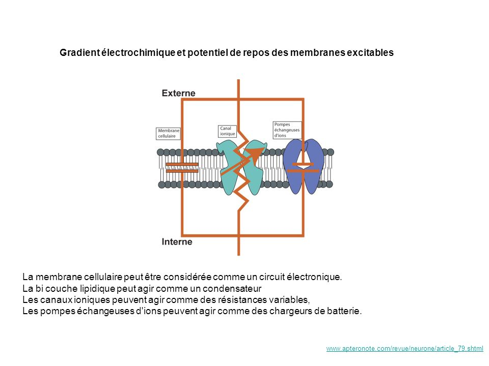 La bi couche lipidique peut agir comme un condensateur