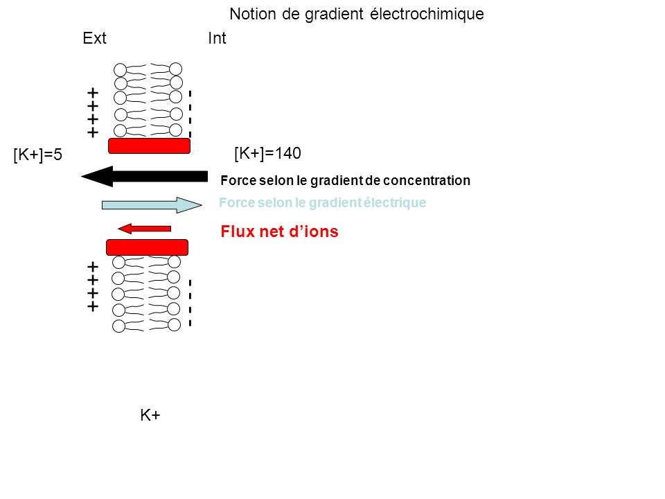 - - - - - - - - ++++ ++++ Notion de gradient électrochimique Ext Int