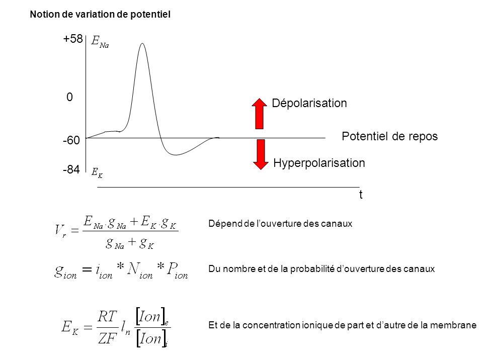 +58 -60 -84 Dépolarisation Potentiel de repos Hyperpolarisation t