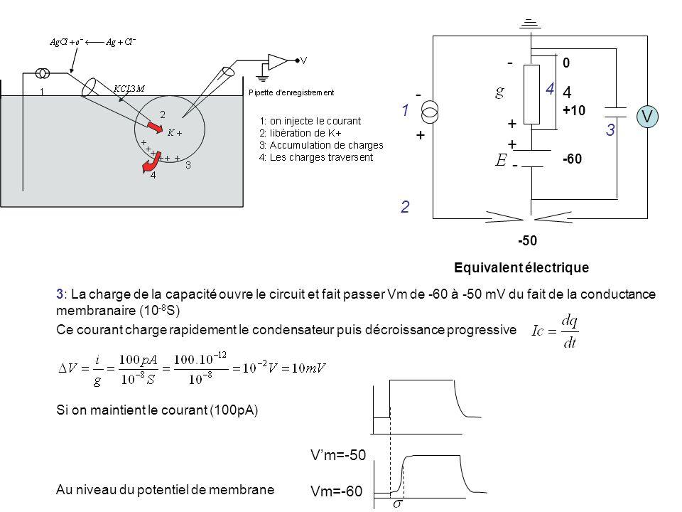 - 4 1 + V 3 2 V'm=-50 Vm=-60 +10 -60 -50 Equivalent électrique