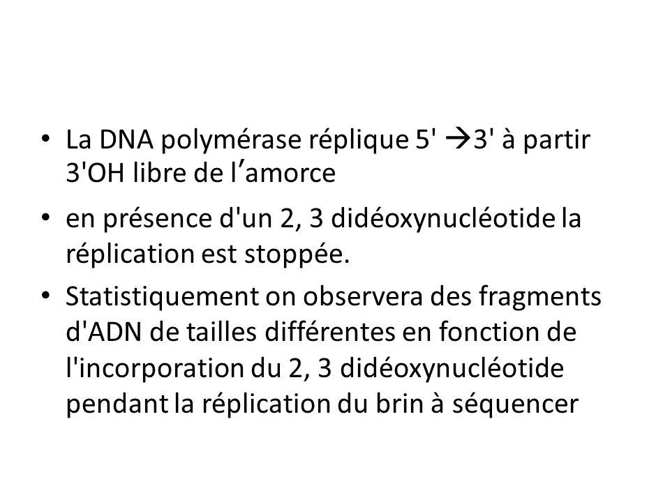 La DNA polymérase réplique 5 3 à partir 3 OH libre de l'amorce