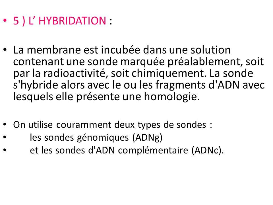 5 ) L' HYBRIDATION :