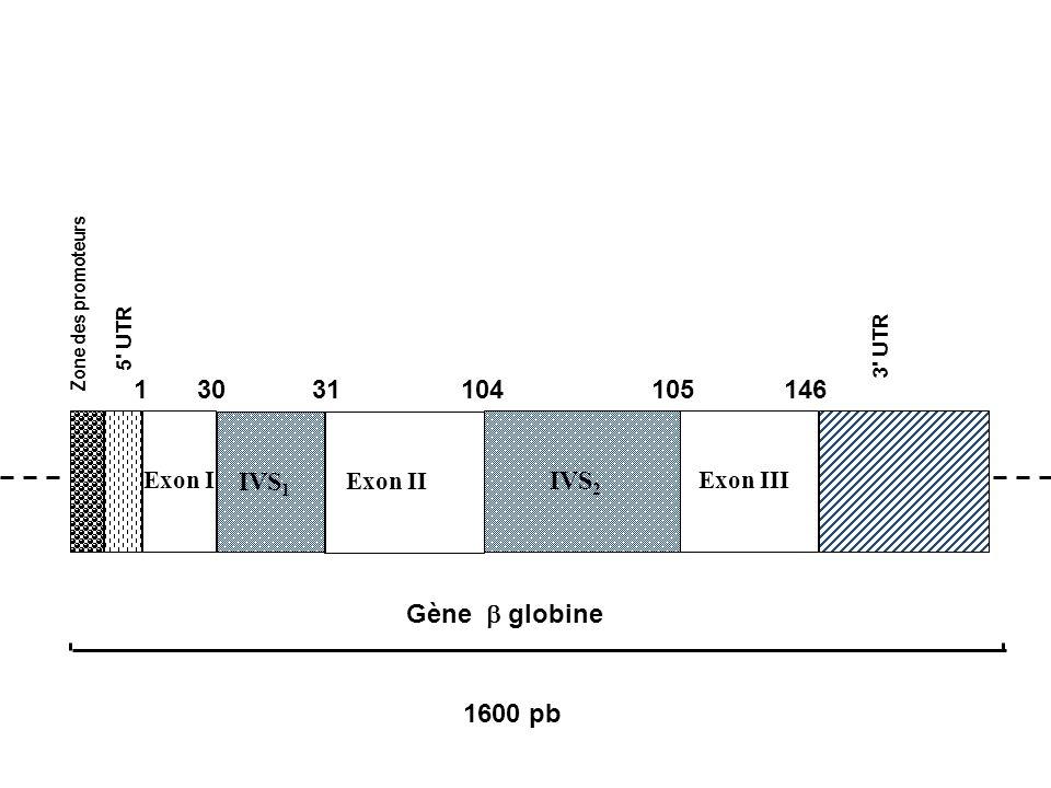 1 30 31 104 105 146 IVS1 IVS2 Gène b globine 1600 pb Exon I Exon II