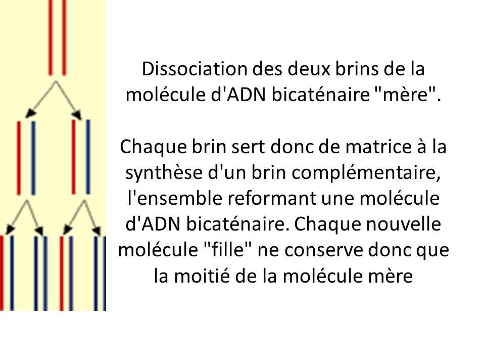 Dissociation des deux brins de la molécule d ADN bicaténaire mère