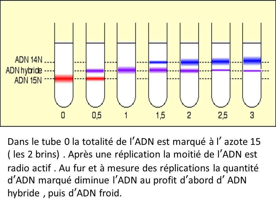 Dans le tube 0 la totalité de l'ADN est marqué à l' azote 15