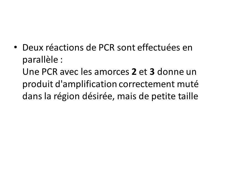 Deux réactions de PCR sont effectuées en parallèle : Une PCR avec les amorces 2 et 3 donne un produit d amplification correctement muté dans la région désirée, mais de petite taille