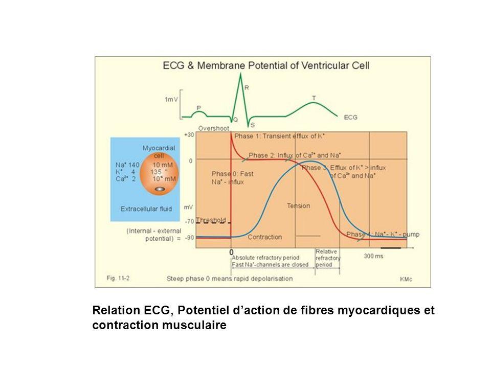 Relation ECG, Potentiel d'action de fibres myocardiques et