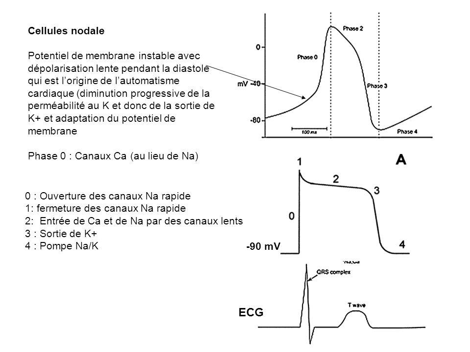Cellules nodalePotentiel de membrane instable avec dépolarisation lente pendant la diastole.