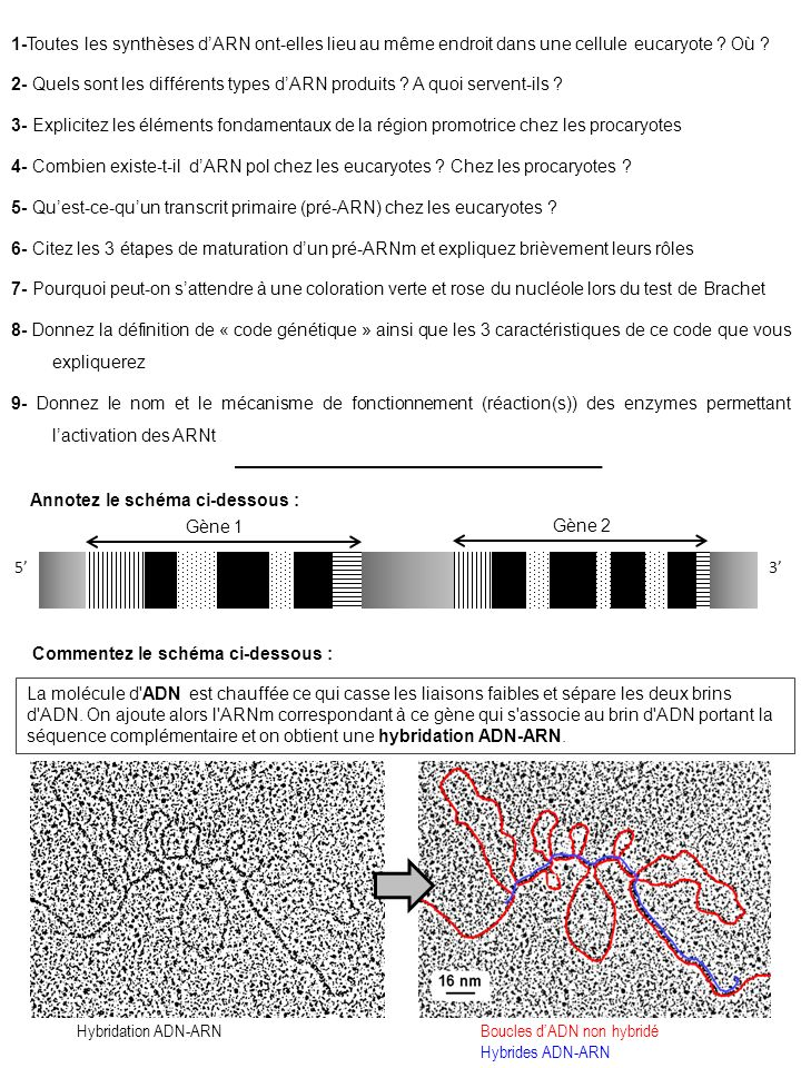 1-Toutes les synthèses d'ARN ont-elles lieu au même endroit dans une cellule eucaryote Où