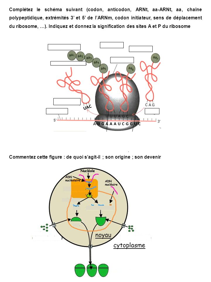 Complétez le schéma suivant (codon, anticodon, ARNt, aa-ARNt, aa, chaîne polypeptidique, extrémités 3' et 5' de l'ARNm, codon initiateur, sens de déplacement du ribosome, …). Indiquez et donnez la signification des sites A et P du ribosome