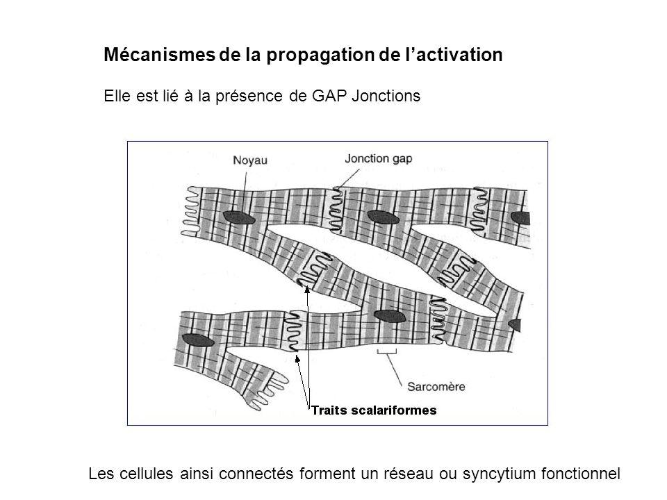 Mécanismes de la propagation de l'activation