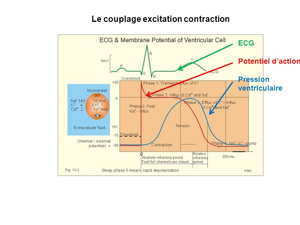 Le couplage excitation contraction