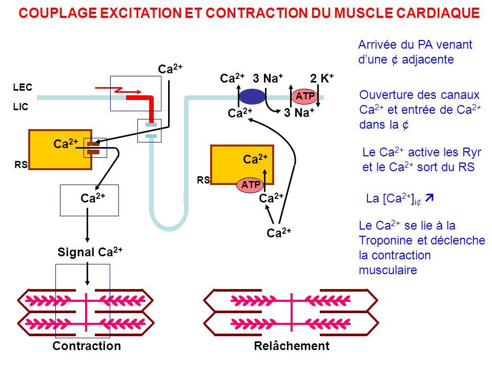 COUPLAGE EXCITATION ET CONTRACTION DU MUSCLE CARDIAQUE