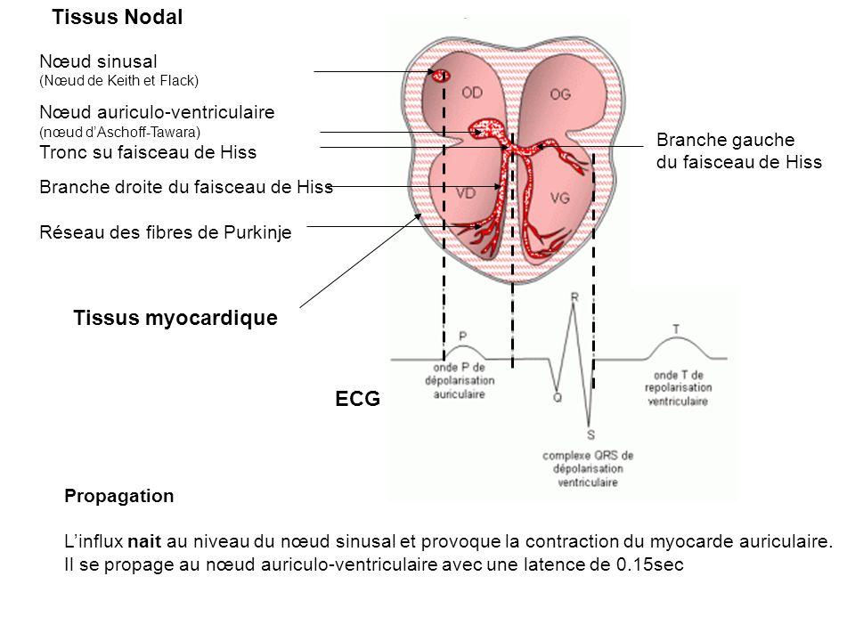 Tissus Nodal Tissus myocardique ECG Nœud sinusal